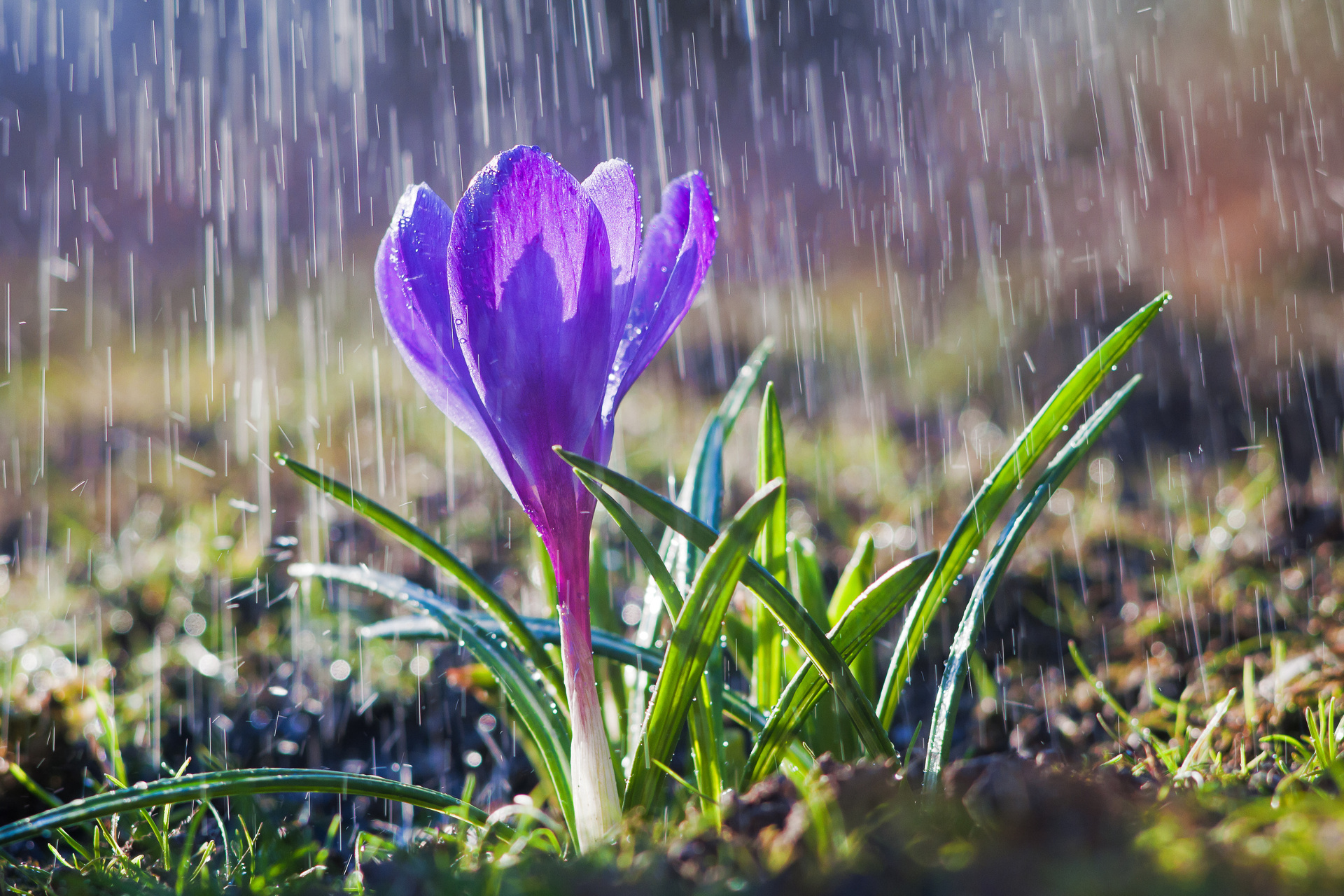 Beautiful spring blue crocus in the spring rain